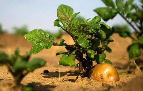 me-tit-bonsai-khoai-tay-be-nhu-ngon-tay-tuyet-dep-10