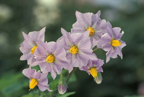 me-tit-bonsai-khoai-tay-be-nhu-ngon-tay-tuyet-dep-12