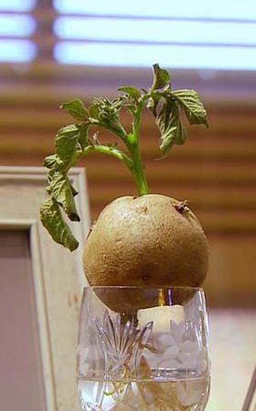 me-tit-bonsai-khoai-tay-be-nhu-ngon-tay-tuyet-dep-3
