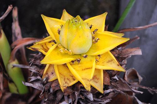 ngam-bonsai-chuoi-canh-sieu-doc-tren-thi-truong-tet-2018-1