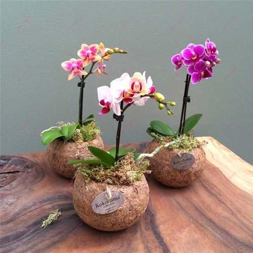 ngam-hoa-lan-bonsai-mini-sieu-dep-trang-tri-nha-dip-tet-6