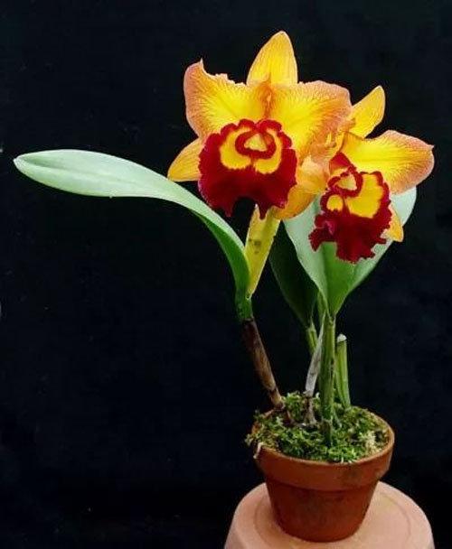 dan-ha-thanh-phat-sot-voi-bonsai-phong-lan-nho-nhu-ngon-tay-1