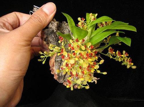 dan-ha-thanh-phat-sot-voi-bonsai-phong-lan-nho-nhu-ngon-tay-14