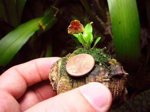 dan-ha-thanh-phat-sot-voi-bonsai-phong-lan-nho-nhu-ngon-tay-15