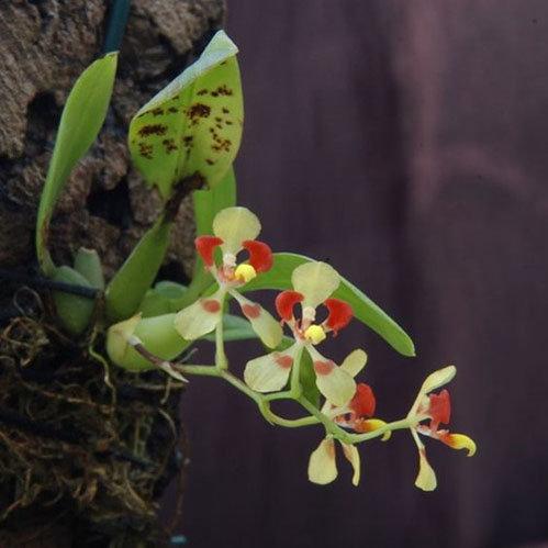dan-ha-thanh-phat-sot-voi-bonsai-phong-lan-nho-nhu-ngon-tay-2