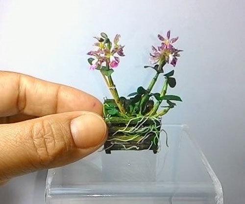 dan-ha-thanh-phat-sot-voi-bonsai-phong-lan-nho-nhu-ngon-tay-4