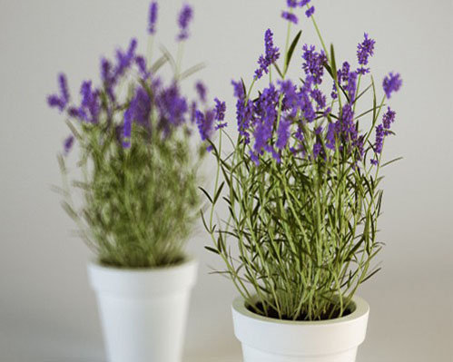 hoa-lavender-qua-dep-ma-thom-lai-duoi-duoc-muoi-toi-gi-khong-tu-trong-vai-chau-tai-nha-1