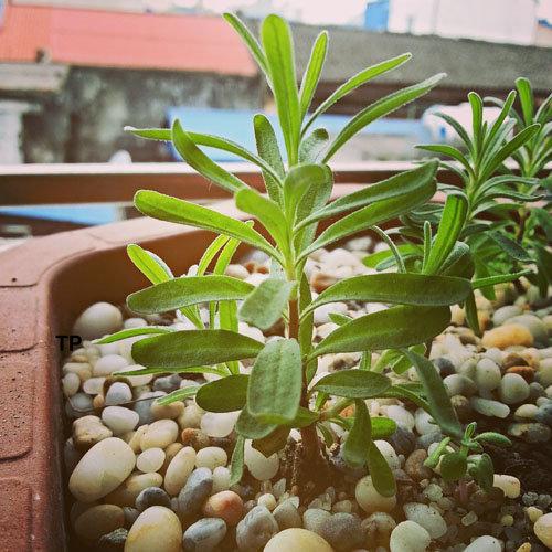 hoa-lavender-qua-dep-ma-thom-lai-duoi-duoc-muoi-toi-gi-khong-tu-trong-vai-chau-tai-nha-20